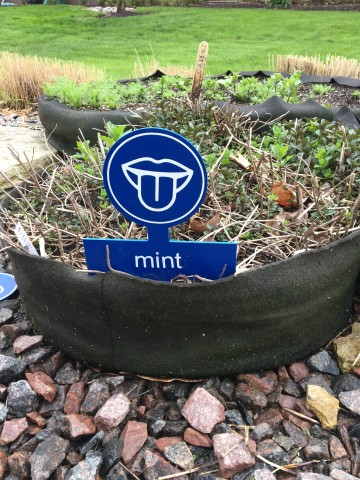 Photo of a mint plant growing in the garden with a blue 'taste' sign and 'mint' written on it.