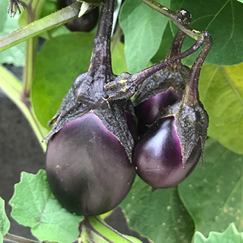 Eggplants growing.